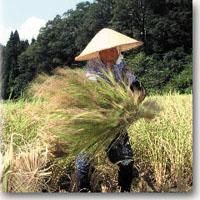 小松市で栽培される米