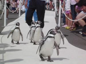 越前松島水族館のペンギン散歩
